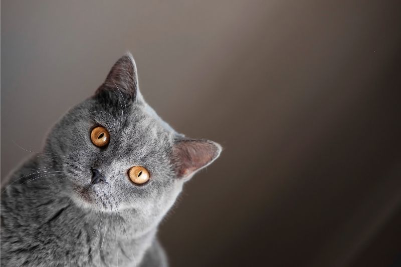 A gray cat with gold eyes is catty-corner to the left against a gray-gradient backdrop