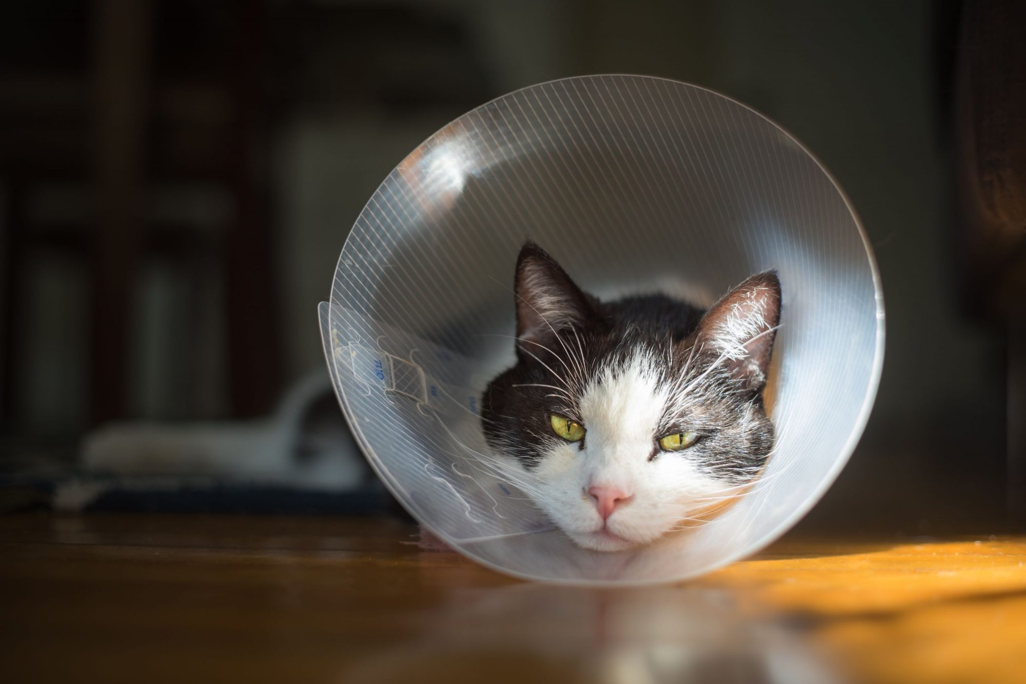 A cat recovers after surgery.